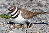 This fanciful plover did not present with the feigning injury dance that most Killdeer do when harm to their nest is perceived. Instead a settling back onto the clutch to incubate was its only business.