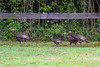 Wild Turkey Poults