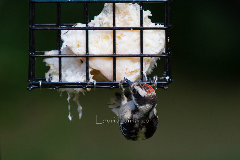 Juvenile Downy, male - on true beef suet, not artificial suet cakes.