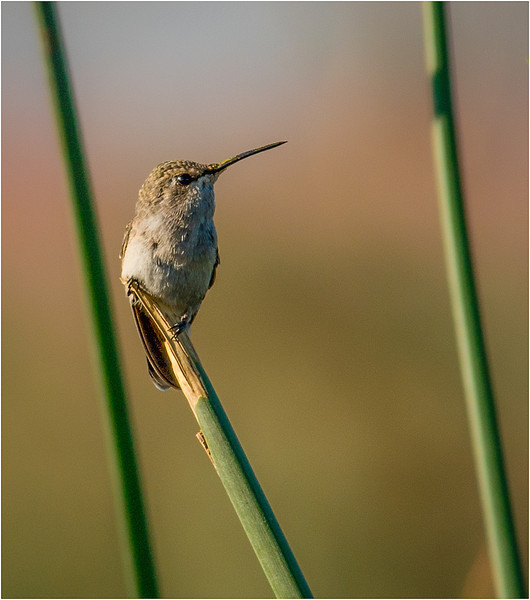 Hummingbird on Reed