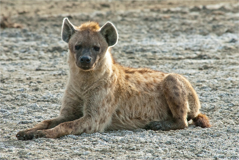 Hyaena Watching