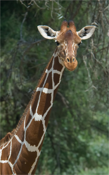 Renticulated Giraffe
