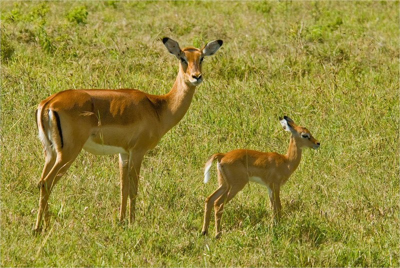 Impapa Mother and Fawn