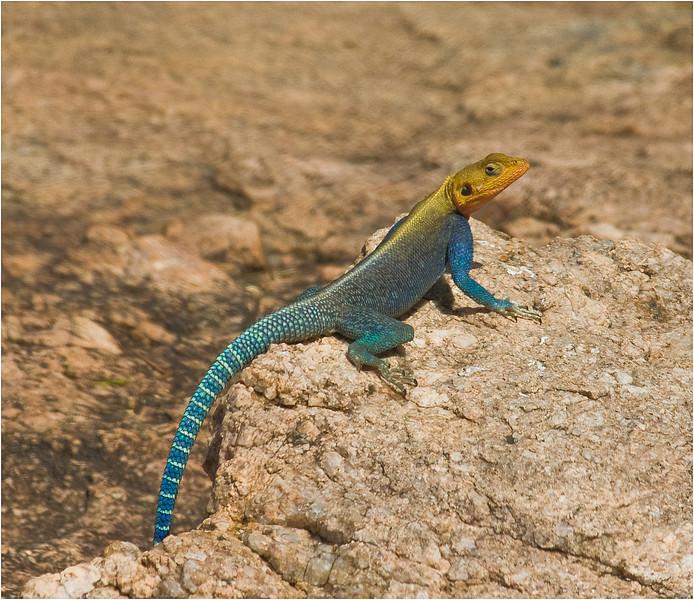 Kenya Lizard