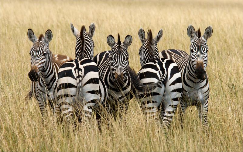 Five Zebra