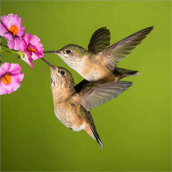 Two Female hummingbirds sharing a flower.
