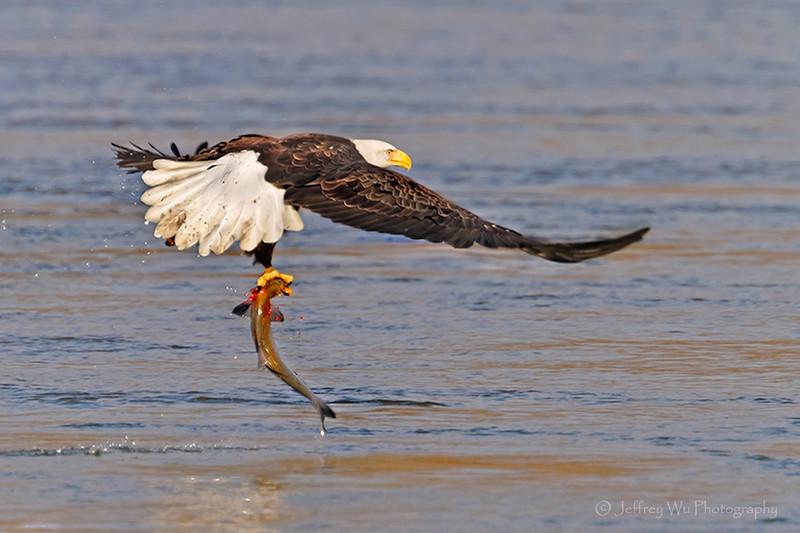 bald eagle 006