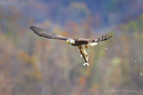 bold eagle 000