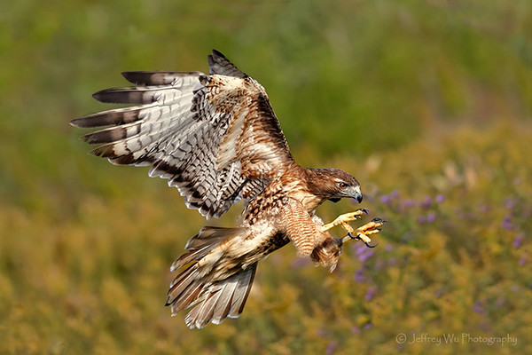 red tail hawk 003