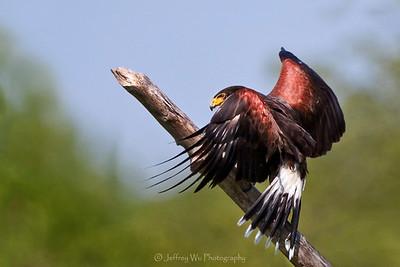 Harris Hawk 002