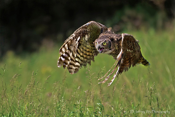 Great Horned Owl 003
