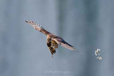 This peregrine falcon is ripping apart a seagull in the midair above Niagara Falls...