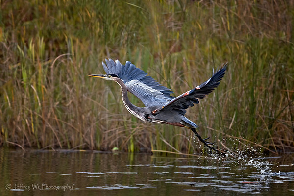 wounded great blue heron