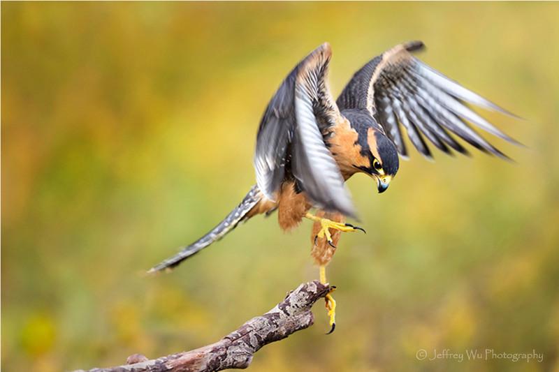 apolomado falcon 001