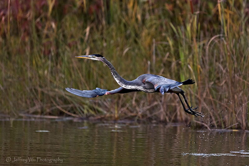 great blue heron 002