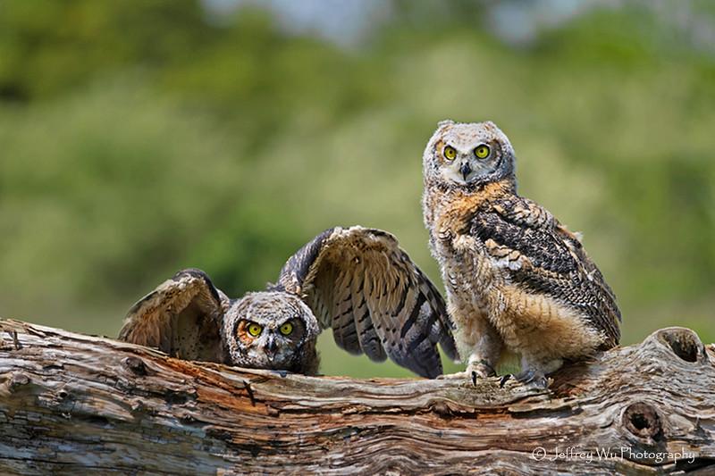 Great Horned Owl 008