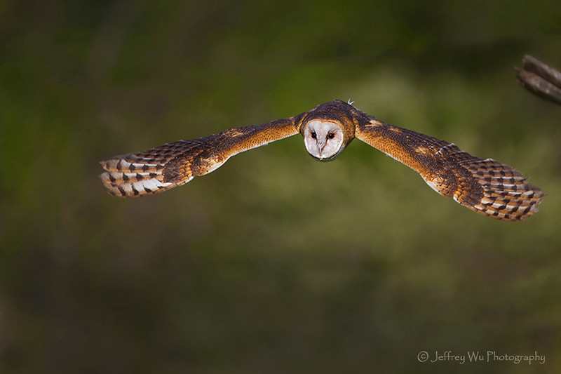Barn Owl 001