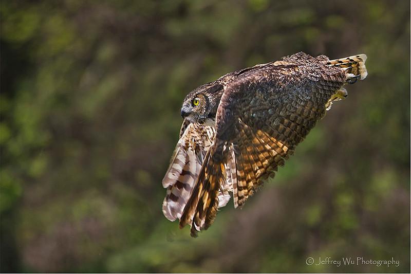 Great Horned Owl 004