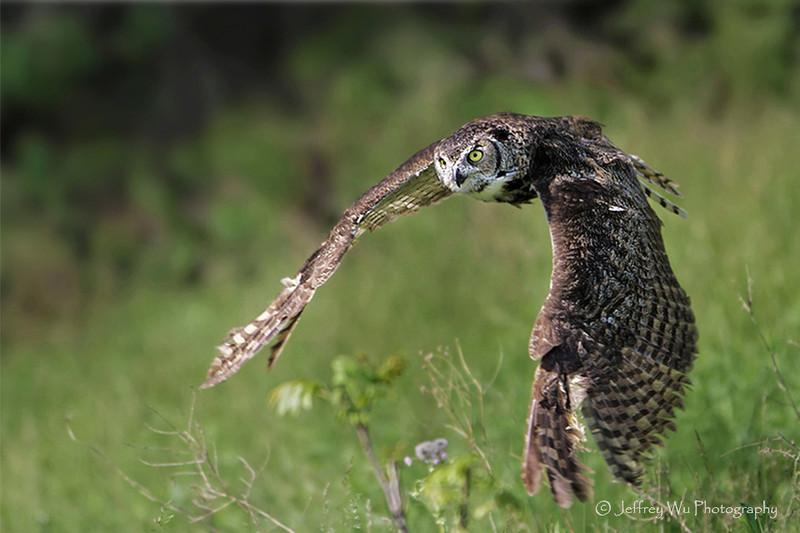 Great Horned Owl 002