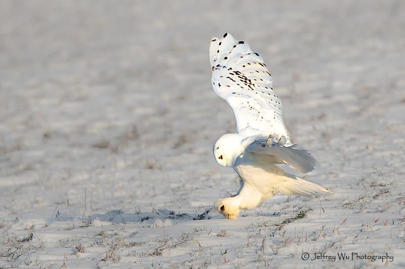 snowy owl 007