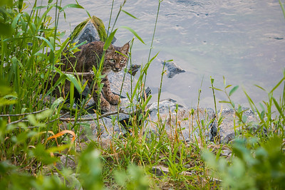 Riverside bobcat in Oregon
