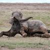 Arican Elephant
