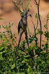 White-backed Mousebird