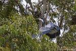 Blac-headed Heron