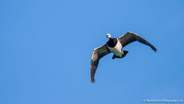 Barnacle Goose