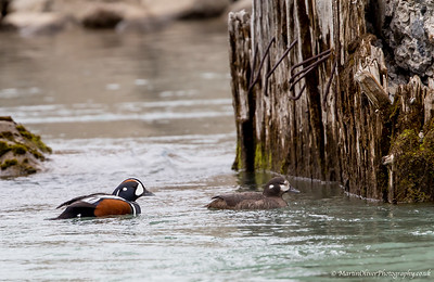 Harlequinn Duck