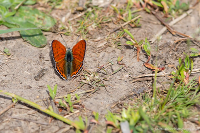 Lesser Fiery Copper