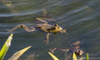 Pond/Marsh Frog