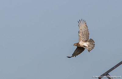 Shot-toed Eagle