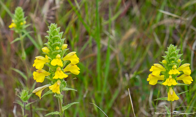 Yellow Bartsia