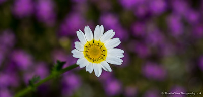 Crown Daisy