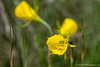 Hoop Daffodil