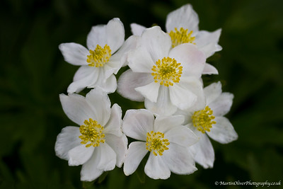Narcissus -flowered Anemone
