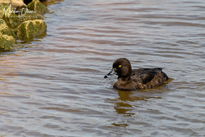 Tuifted Duck