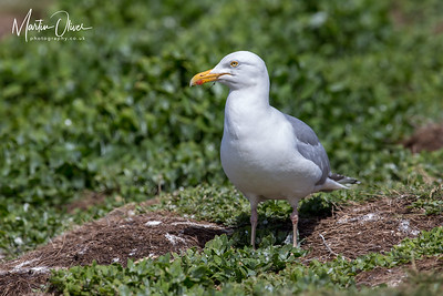 Herrring Gull
