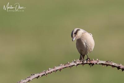 Steppe Grey Shrike