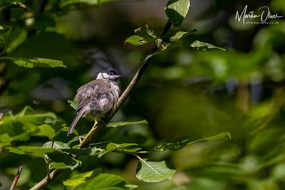 Marsh Tit