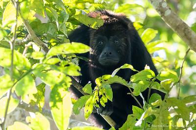 Guatemala Black Howler Monkey