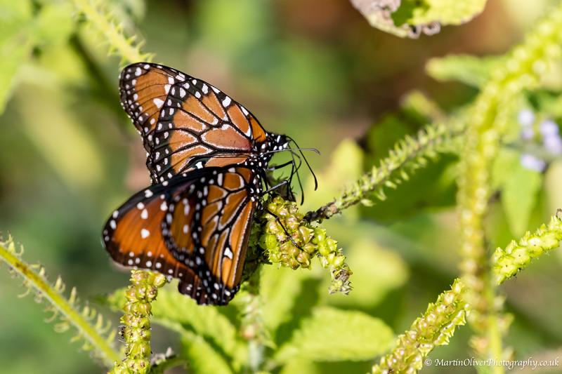 Monarch sp