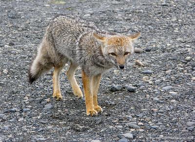 South American Grey Fox