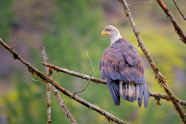 Bald Eagle #4