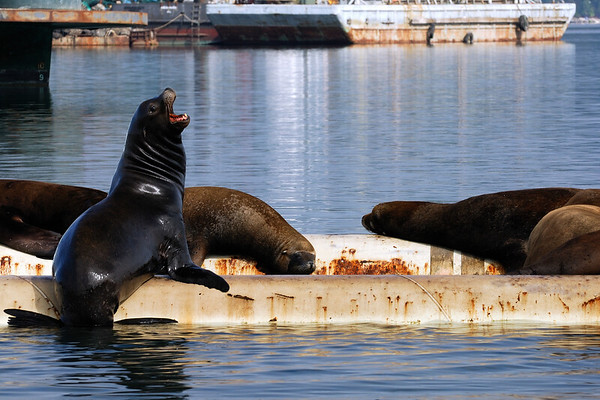 Male California Sea Lion #3