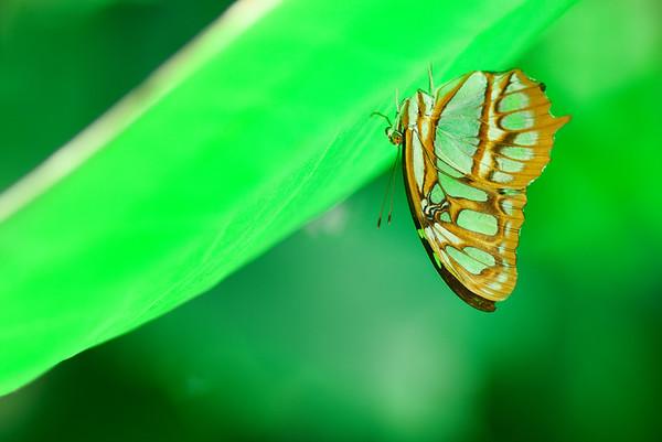 Malachite Butterfly #1