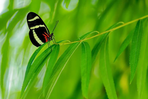 Hewitsoni Longwing Butterfly