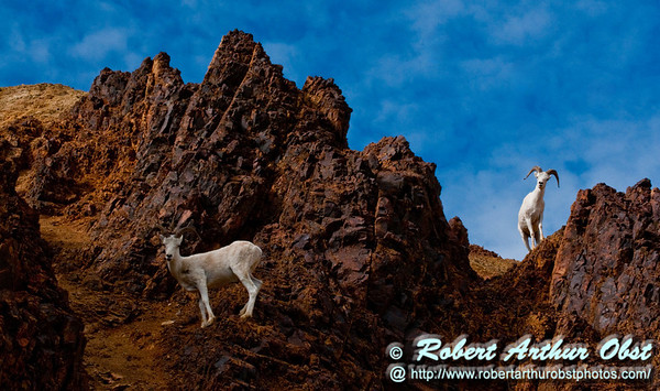 Eye to eye with Dall Sheep near Denali Park Road and Polychrome Pass within Denali National Park (USA Alaska Denali Park; RAO 2011 Nikon D300 Image 0368)