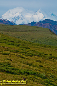 Lone magnificent caribou wander the foothills encircling Denali or Mount McKinley within Denali National Park (USA Alaska Denali Park)